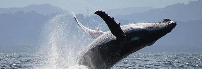 Want to Swim with Humpback Whales? Now You Can in Byron Bay!