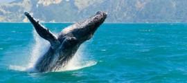 Whale Watching Byron Bay