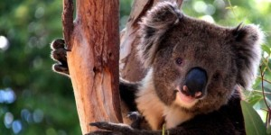 Byron Bay koala